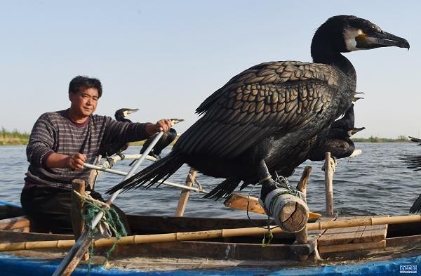 河北白洋淀畔的鸕鶿捕魚人 - 每日頭條