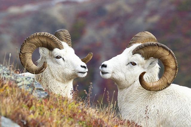 大角羊圖集 - 每日頭條
