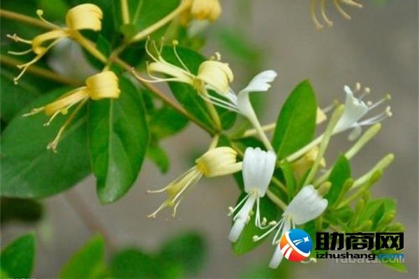 金銀花苗 爬藤和金銀花盆栽的區別 - 每日頭條