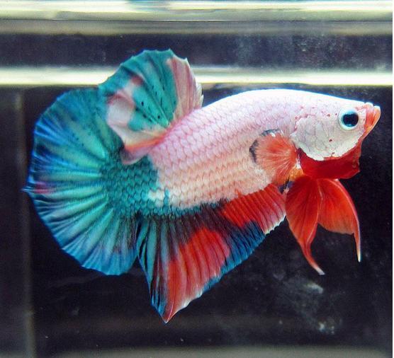 【簡介】既漂亮又好養的觀賞魚——泰國鬥魚 - 每日頭條