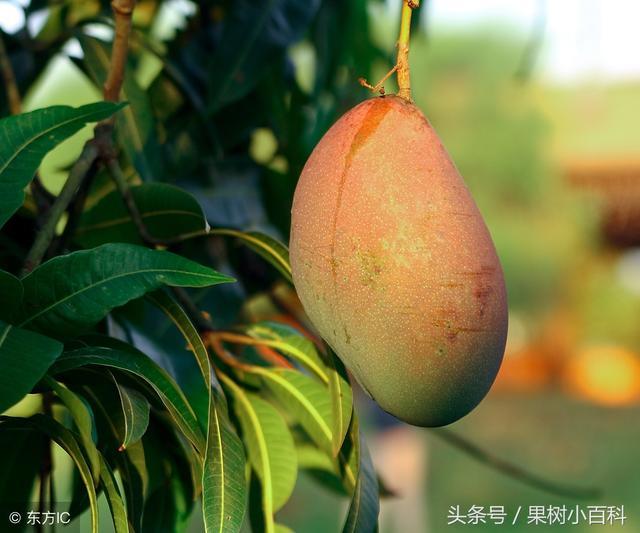 芒果種植技術 - 每日頭條