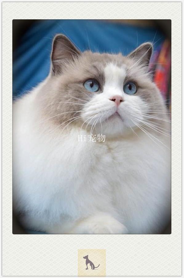 貓舍:購買布偶貓,貓都沒開始養呢,布偶推薦商品,滿滿的乾貨,可節省1000元 - 每日頭條
