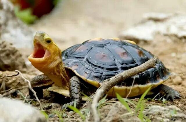 黃緣閉殼龜欣賞 - 每日頭條