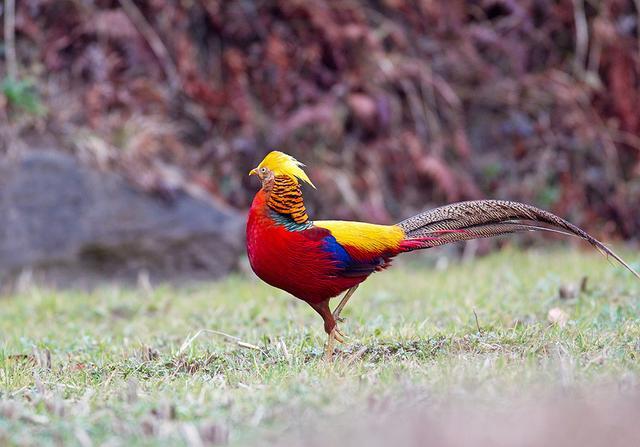 「雞年說雞」撞臉川普的中國金雞—紅腹錦雞 - 每日頭條