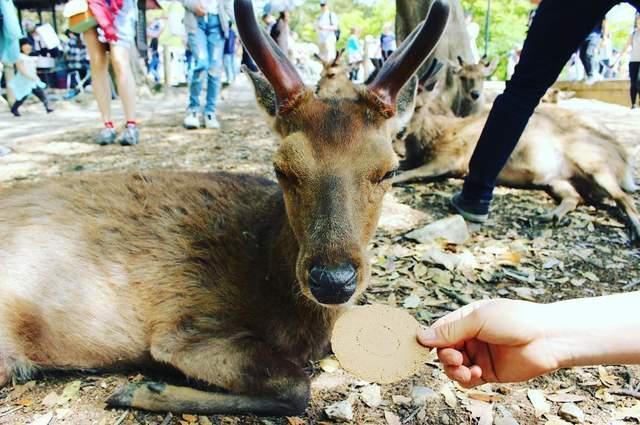 日本黃金周期間奈良小鹿吃飽飽 鹿仙貝滯銷中,小鹿們吃不完啦! - 每日頭條