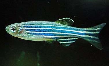 斑馬魚的壽命可以活多久?不會活太久 - 每日頭條