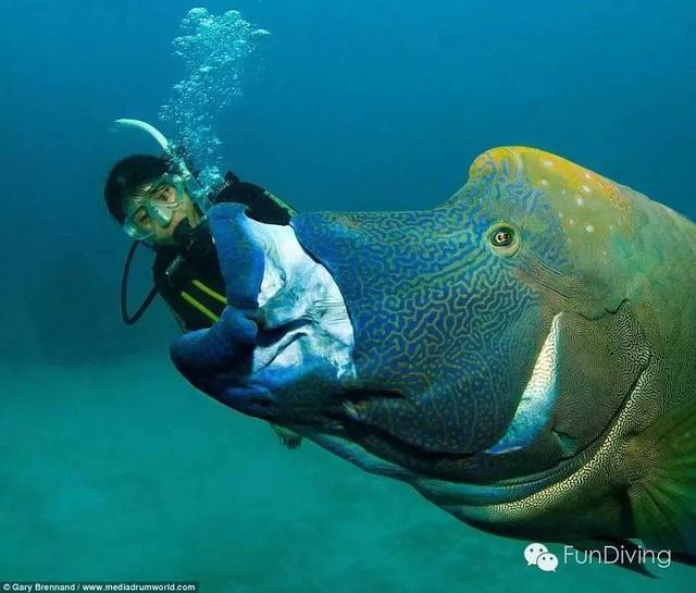 蜜汁萌點大堡礁巨型魚搶鏡「吃人」! - 每日頭條