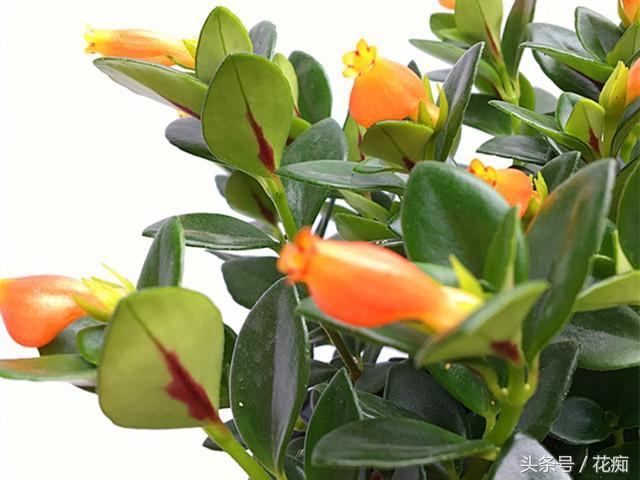 金魚吊蘭扦插繁殖也能長爆一盆? - 每日頭條