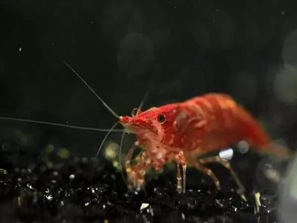 家居水景丨幾種常見品種的觀賞蝦混養問題 - 每日頭條