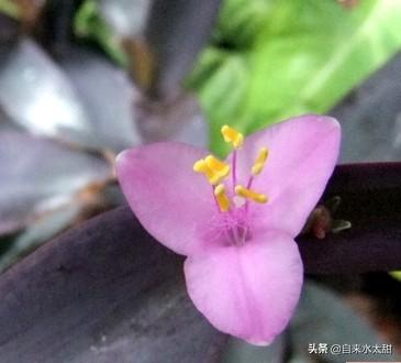 紫鴨拓草是什麼花?可以食用嗎?怎麼種植? - 每日頭條