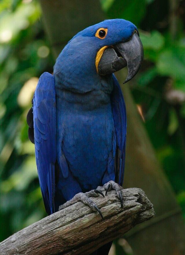 世界第一身價鸚鵡:藍紫金剛鸚鵡毛色鮮艷無比 - 每日頭條