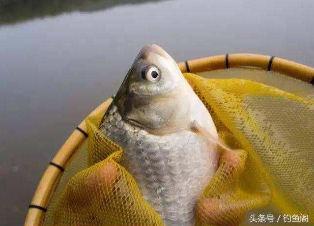 野釣鯽魚用什麼打窩誘魚最快?細說顆粒和酒米的利和弊 - 每日頭條