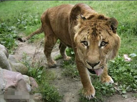 獅虎獸,體型比老虎獅子都要大,一直長到它的身體不能承受! - 每日頭條