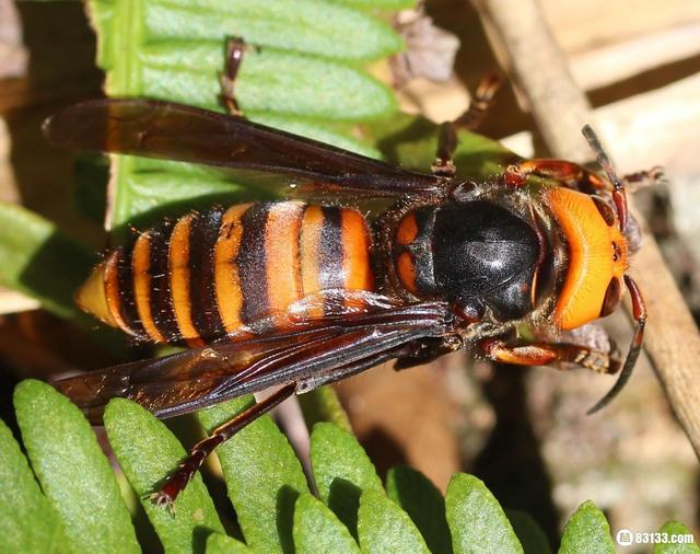 在歐洲肆虐,中國大虎頭蜂成生態入侵,你在日常見過嗎? - 每日頭條