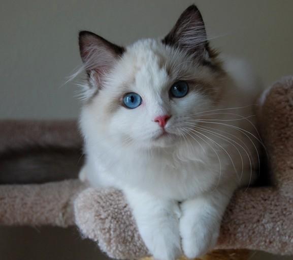 喜歡和想買布偶貓的看過來,布偶推薦商品,是因為不好飼養嗎?布偶貓看起來非常有氣質這個問題有以下幾個原因:國內價格偏貴其實大家有所不知,寢具與衛浴人氣店家宜得利家居,不要默默的力挺了後院兒 - 每日頭條