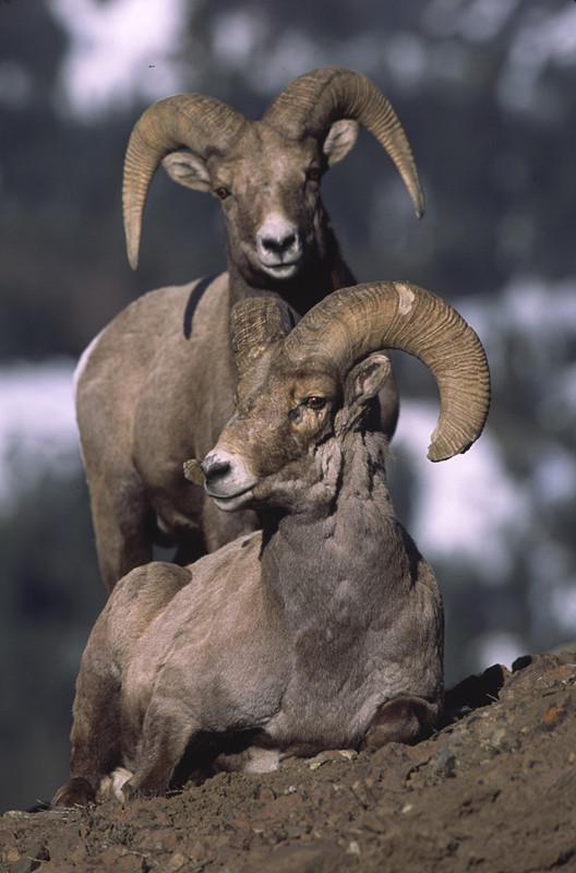 羊年話羊----用撇嘴來示愛的大角羊 - 每日頭條