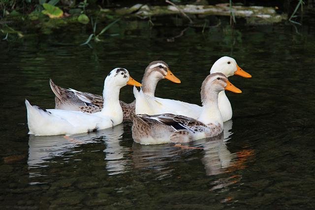真沒想到有不少人在問:鵝跟鴨子如何區分? - 每日頭條