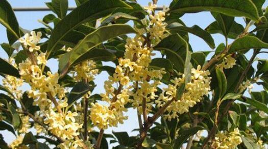 桂花一般是幾月開花 桂花是什麼季節開的花 - 每日頭條