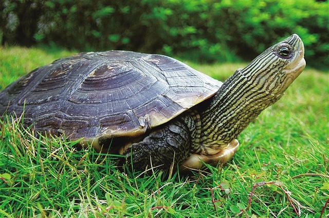 王八種類大全水龜篇1 - 每日頭條