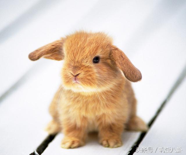 想養只活潑可愛毛茸茸的兔子當寵物需要注意哪些情況呢? - 每日頭條
