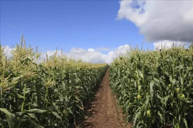 夏玉米施肥常見問題,你知道嗎? - 每日頭條