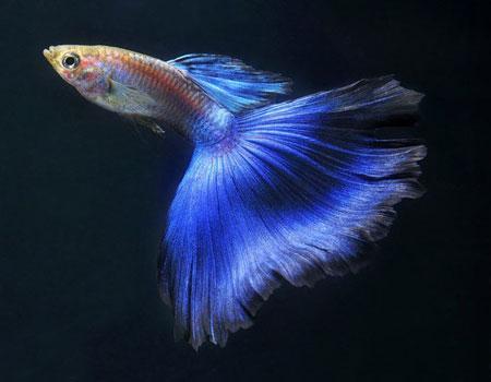 孔雀魚母魚為什麼會吃小魚?你知道嗎? - 每日頭條