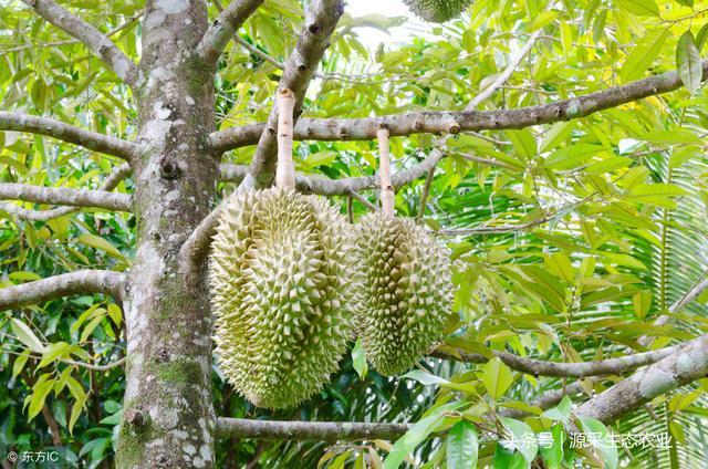 熱帶水果之王――榴槤 - 每日頭條