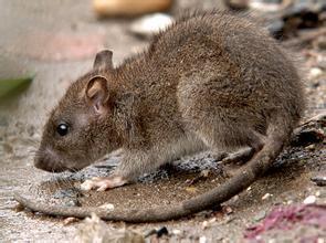 周公解夢:夢見老鼠 耗子是什麼意思? - 每日頭條
