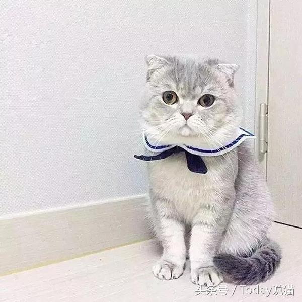 為什麼我勸你不要養折耳貓? - 每日頭條
