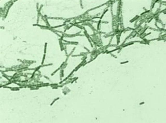 芽孢桿菌的那些不為人盡知的功效 - 每日頭條