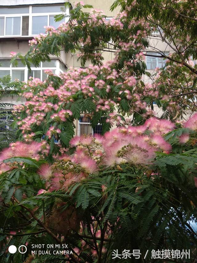 盛開的合歡花 - 每日頭條
