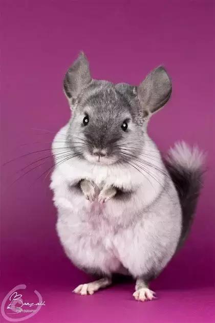 毛絲鼠,又名龍貓 - 每日頭條