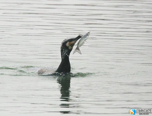 捕魚能手——鸕鶿 - 每日頭條