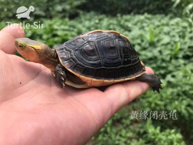 正在冬眠的黃緣閉殼龜突然醒了怎麼處理「龜谷鱉老」 - 每日頭條