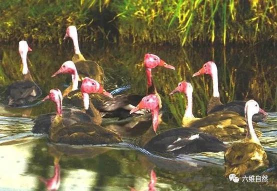 極具觀賞價值的粉頭鴨,在野外多年難覓蹤跡,或許已成傳說物種 - 每日頭條
