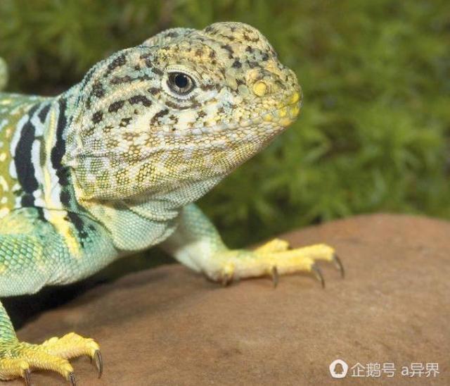蜥蜴為了逃脫,將尾部自割,斷尾能迅速扭動以分散捕食者的注意 - 每日頭條