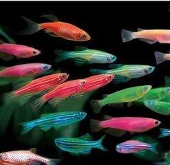 適合養魚新手的入門魚系列——和你基因相似度達到87%的斑馬魚 - 每日頭條