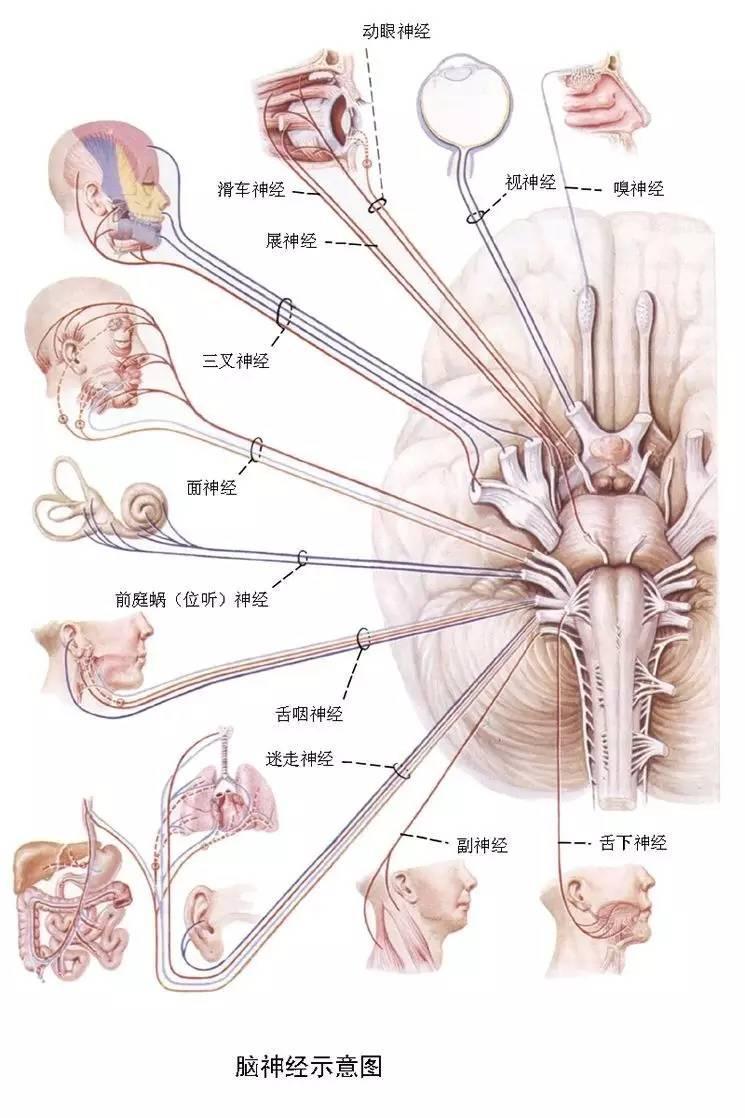 78張圖!!生動漂亮的腦神經 MRI 斷層解剖(收藏) - 壹讀