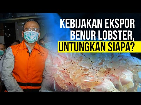 Kebijakan Ekspor Benur Lobster, Untungkan Siapa? - Voice of Karet
