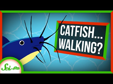 Catfish Walking on Land Find Water by its Smell