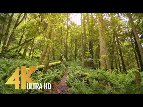 4K Virtual Hike - Walking in the Woods with Birds Songs & Calm Music - High Point Trail, Issaquah