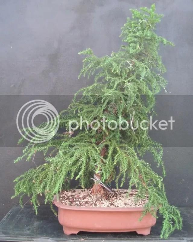 Cryptomeria bonsai - courtesy photobucket