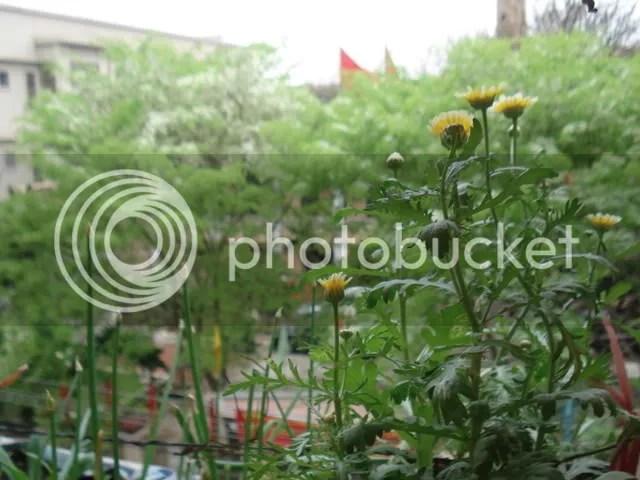 Hoa sưa nhìn từ vườn cải cúc