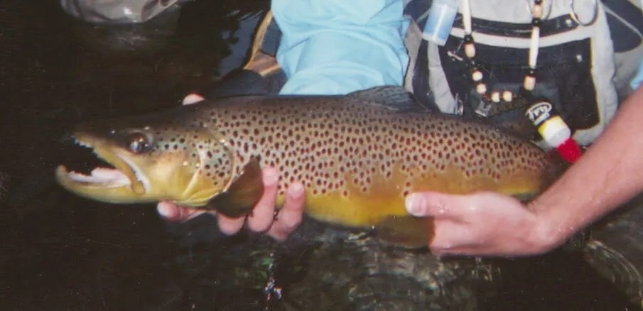 Ralphs 24 Norfork River brown