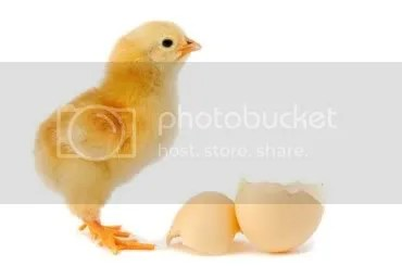chicken_hatched_holiday.jpg