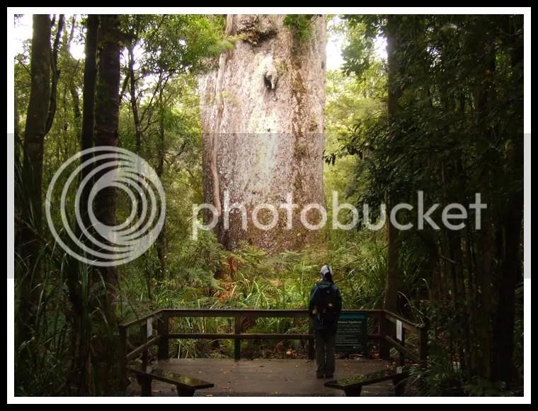 New Zealand - Kauri Forest, Osher Merhav