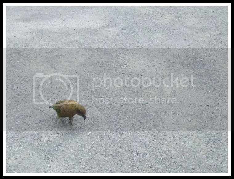 New Zealand - Kea