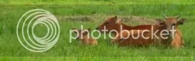 cows by the villa