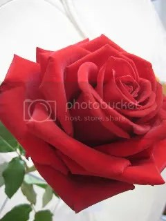 my valentine's rose 2008