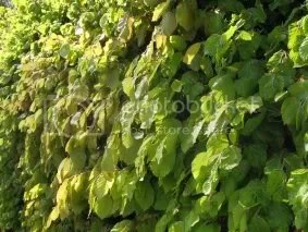 new leaves on the copper beech hedge